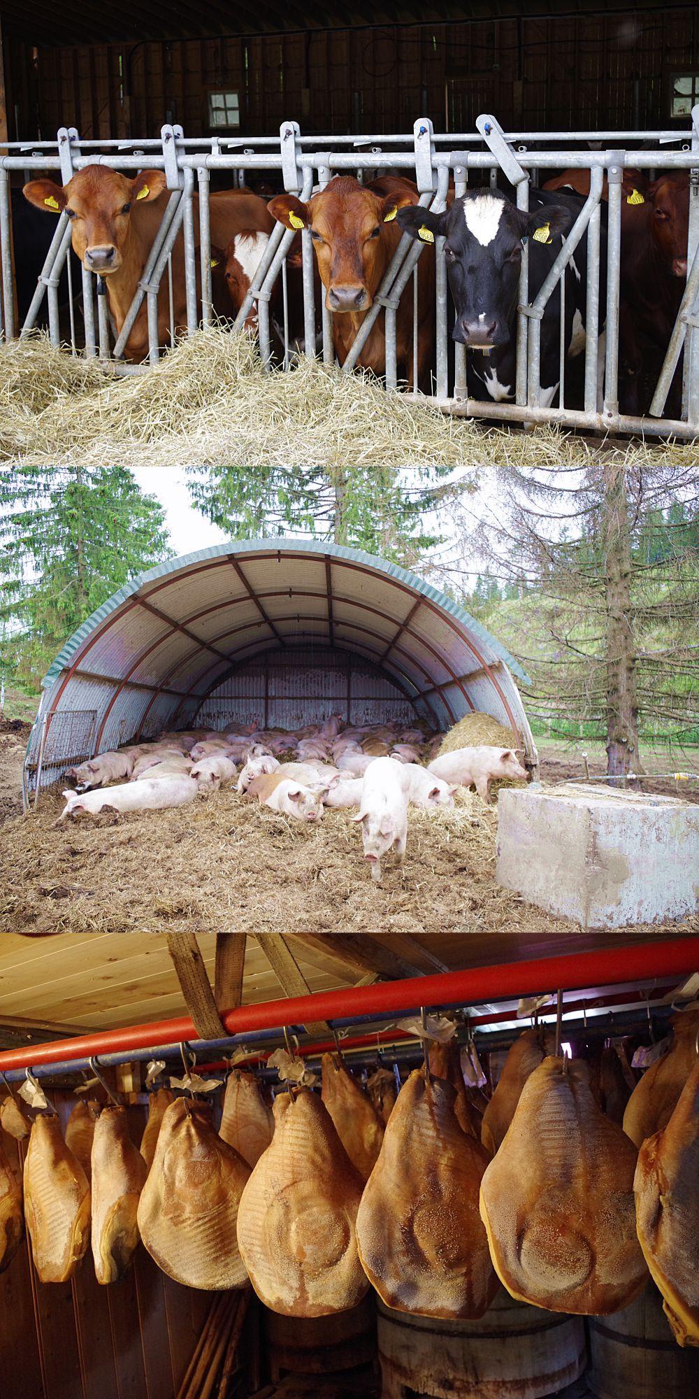 skinker-kuer-og-griser-koblet