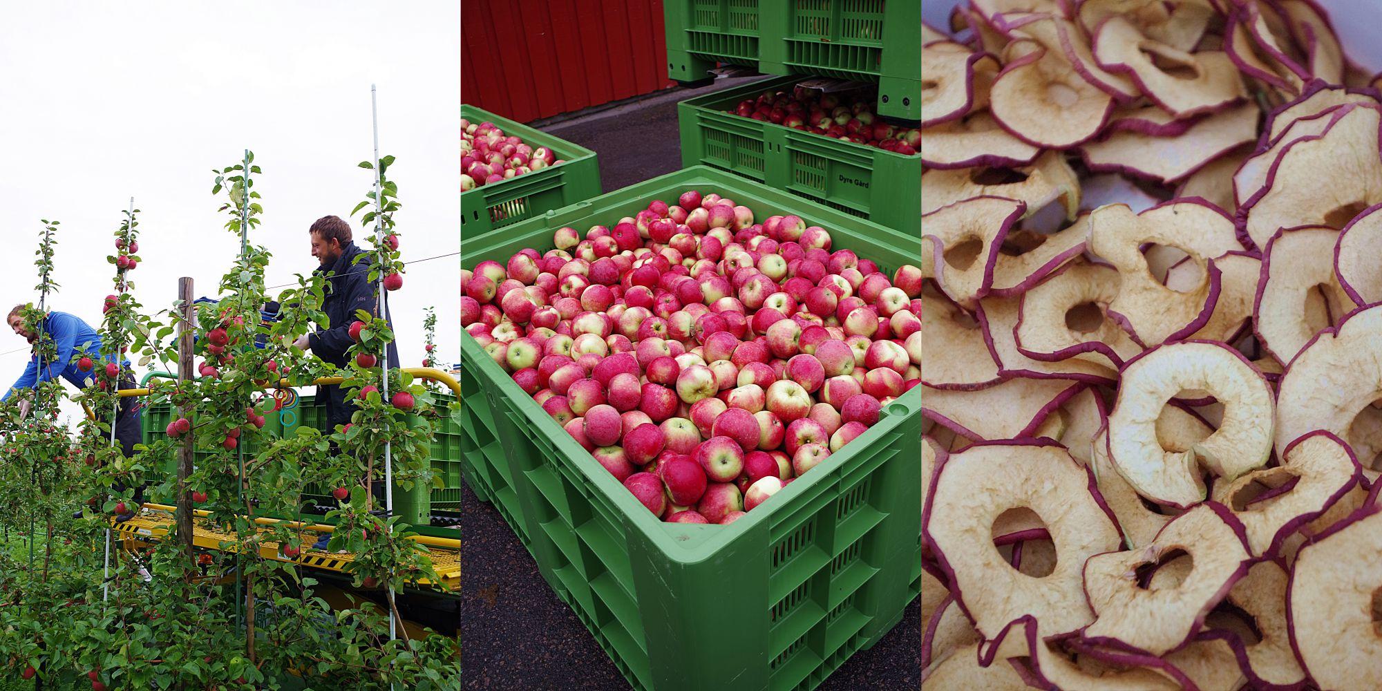 koblet-med-torkede-epler